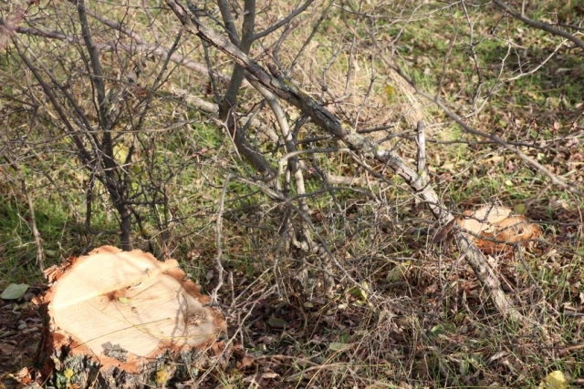 Defrişare ilegală la Bălți. Prejudiciu de peste 1 milion de lei