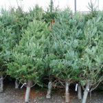 Ce facem cu pomul de Crăciun după sărbători? Soluția propusă de primăria Chișinău