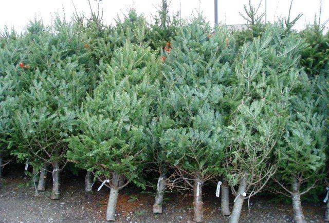 Brazii de Crăciun vor fi reciclați. Anunțul primăriei Chișinău