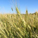 6,5 milioane de lei pentru producătorii agricoli