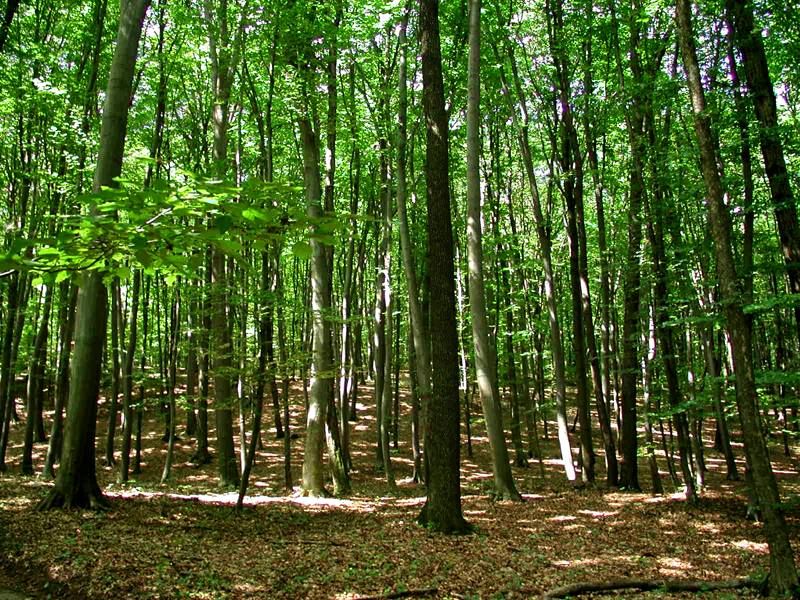 Pădurea – fabrica de oxigen, ne ajută să ne adaptăm schimbărilor climatice