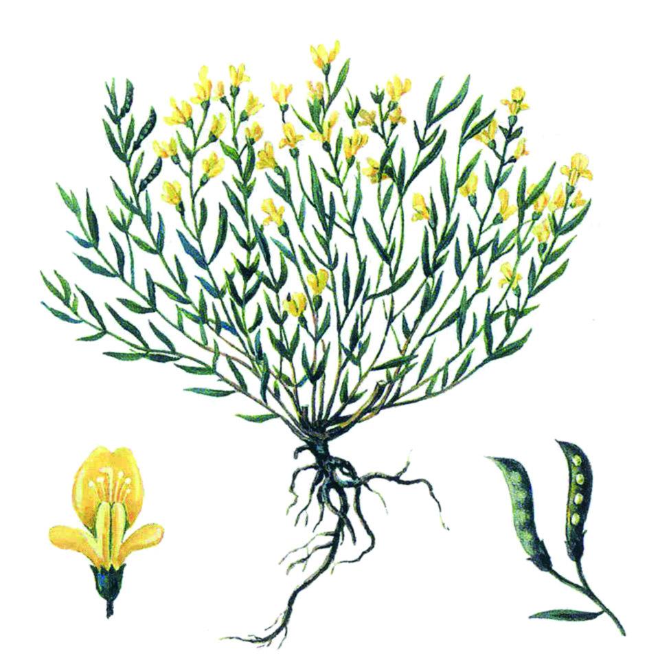 Drobişor tetramuchiat - specie endemică relictă din arealul Rezervaţiei cultural-naturale Orheiul Vechi