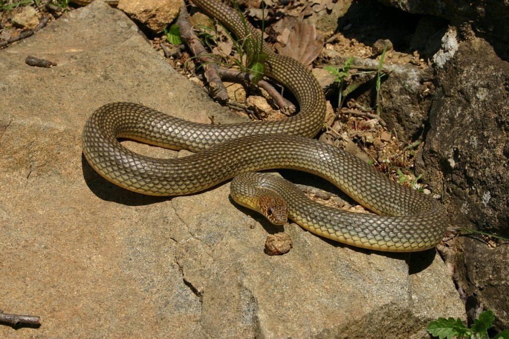 Șarpele cu abdomen galben (Coluber jugularis) se târățte și prin arealul Parcului Național Orhei. Foto: internet