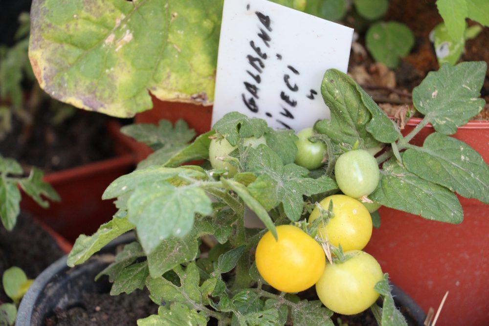 FOTO/VIDEO. Grădina experimentală de la Cigârleni, cu tomate rezistente