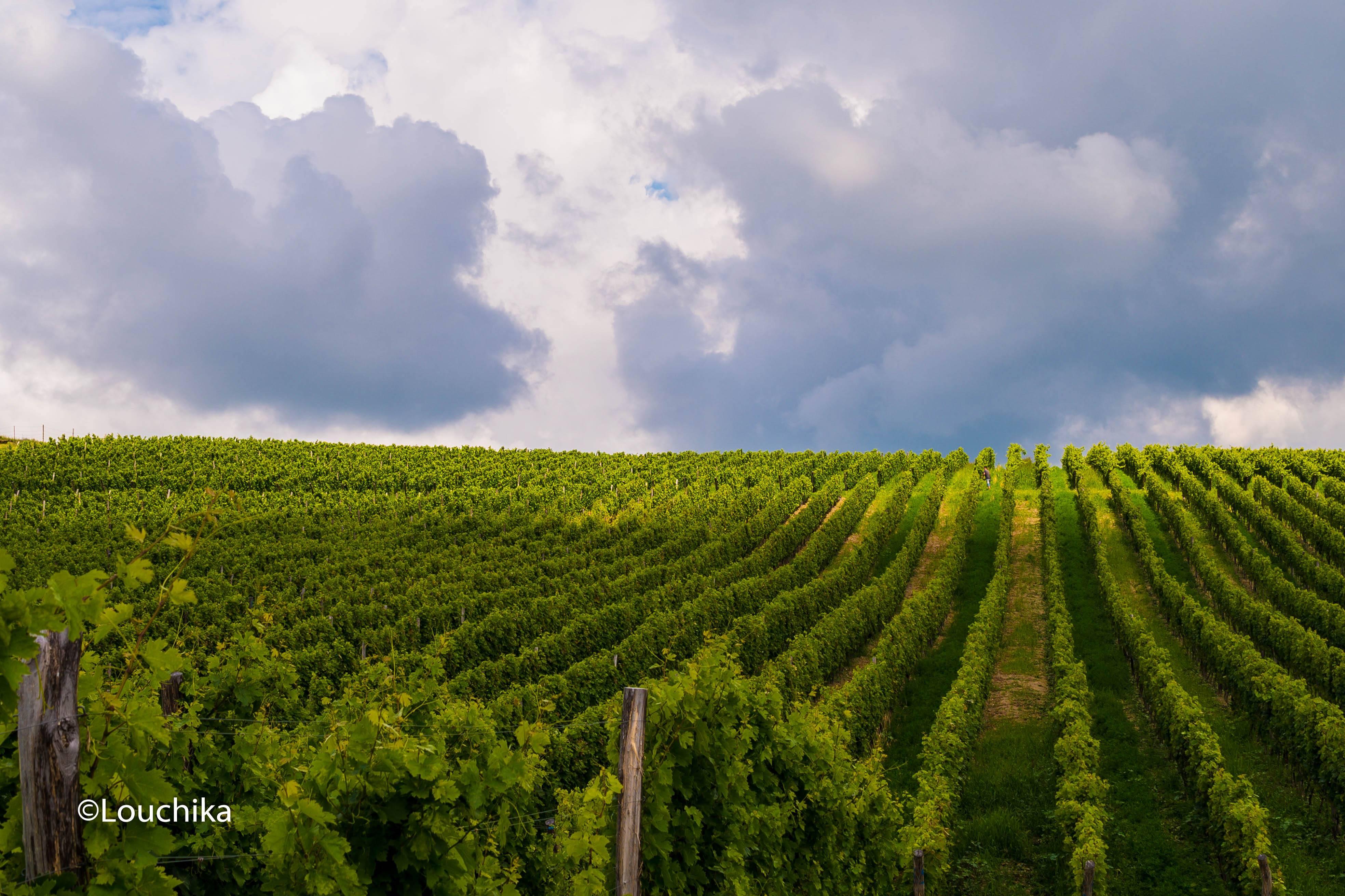 Podgoria de la Mirceşti - regiunea vitivinicolă Codru Foto: Lucia Tăut