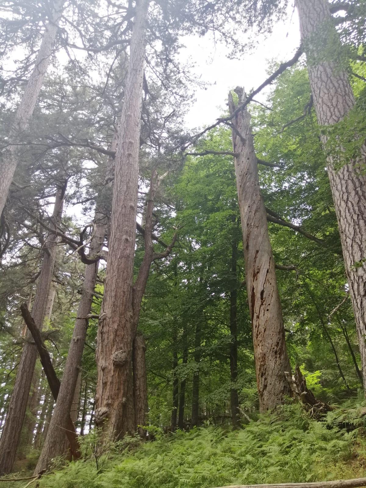 Arborii din Calabria