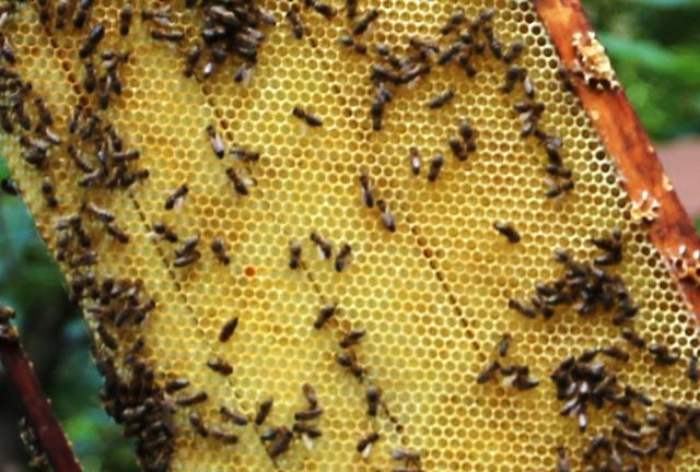 Pesticidele au omorât colonii de albine din Rusia