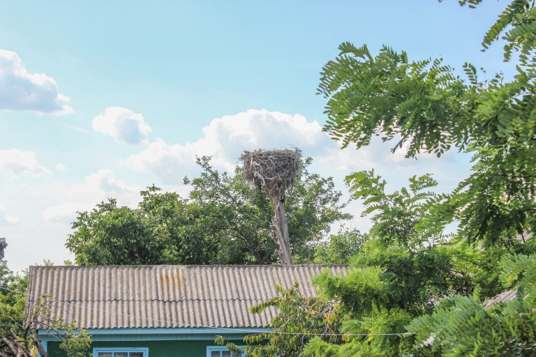 Cuibul de cocostârc văzut din curtea casei familiei Munteanu. Foto: Cristina Kifa