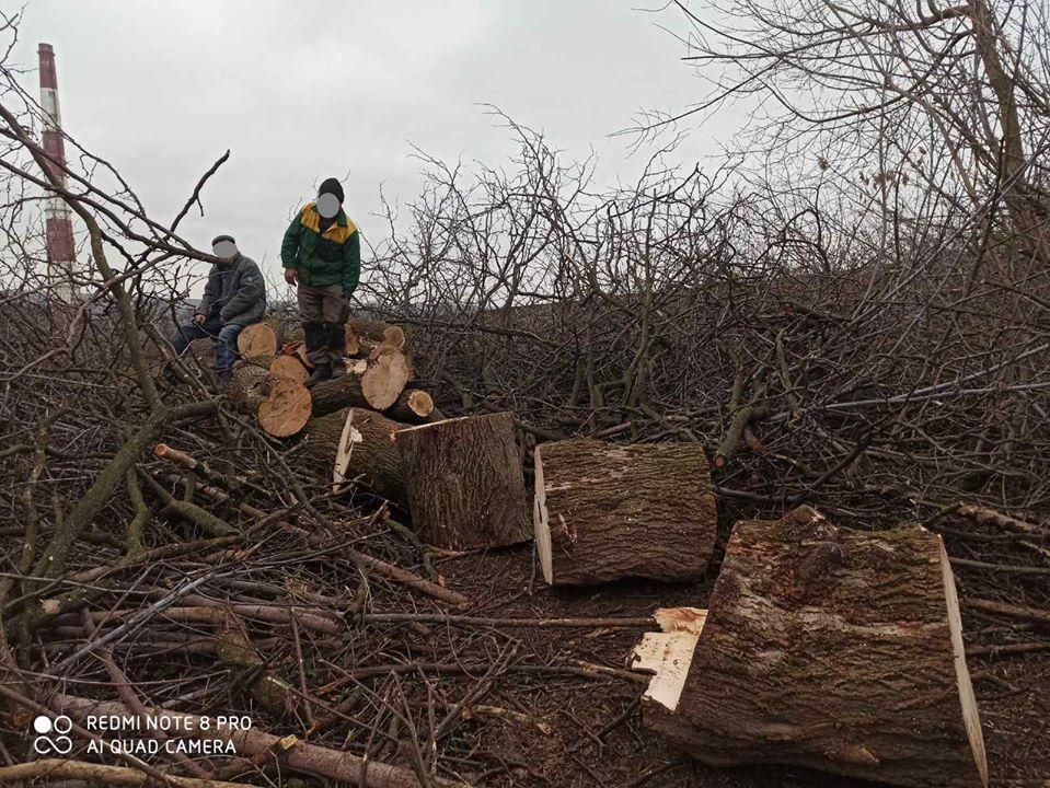 FOTO/ Prejudiciu de zeci de mii de lei. Mai mulți arbori tăiați ilegal în municipiul Chișinău