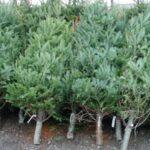 Peste 52 de mii de pomi de Crăciun vor fi scoși la vânzare. Prețul stabilit de Moldsilva pentru un metru de brad