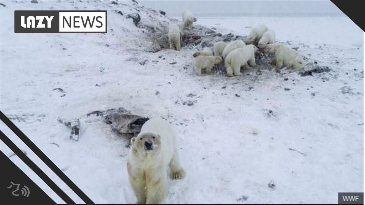 /FOTO. VIDEO/ Un sat din Rusia, invadat de zeci de urşi polari în căutare de hrană