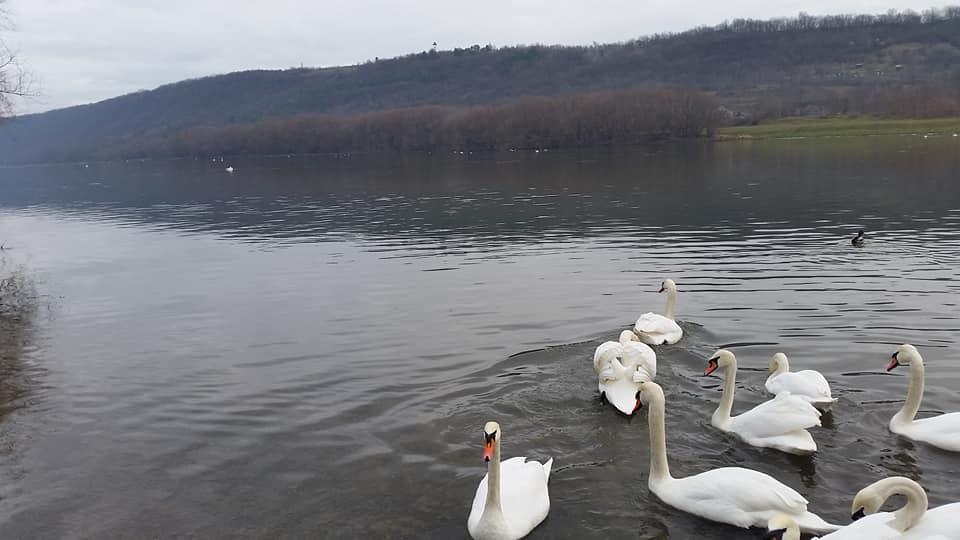 FOTO/ Au ales să ierneze în Moldova. Lebede și rațe, surprinse pe râul Nistru