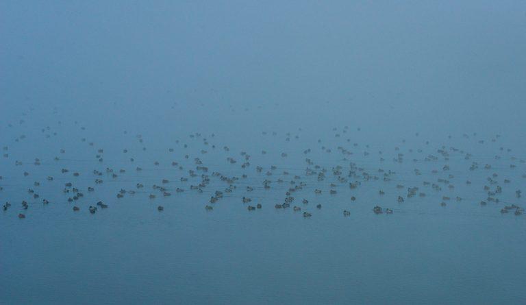 Stol de rațe mari (Anas platyrhynchos) pe fluviul Nistru. Foto: Gheorghe Țîcu