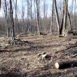 DOC. FOTO/ Legaţi la ochi pentru a nu vedea cum se fură pădurea