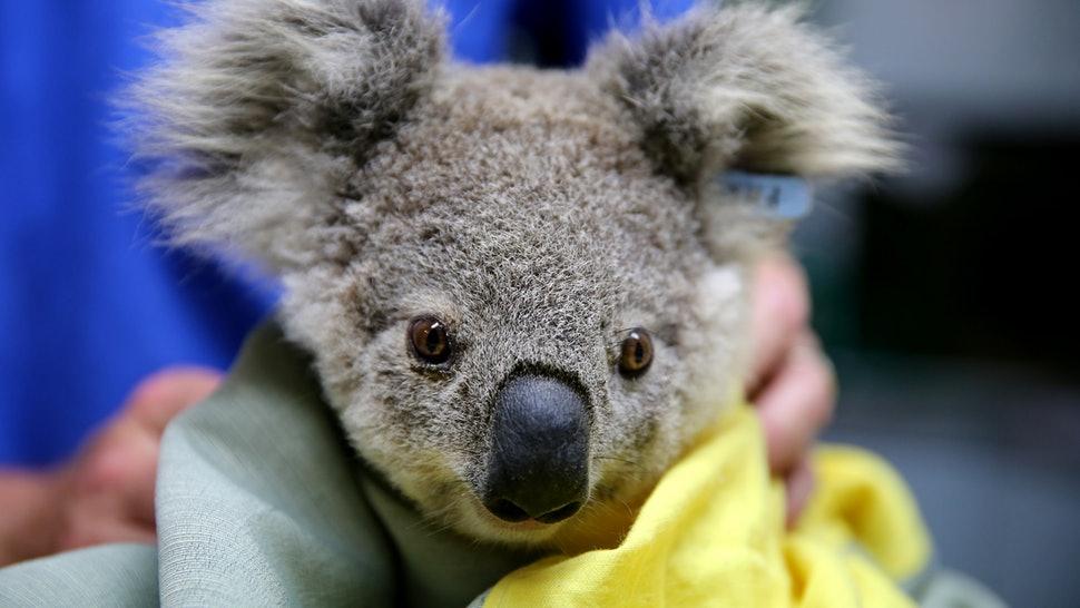 Australia: Biologii luptă să salveze cât mai mulţi koala din calea flăcărilor