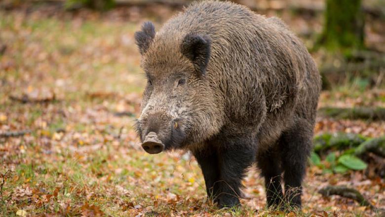Focar de pestă porcină în Pădurea Domnească: Peste 30 de mistreți, găsiți morți