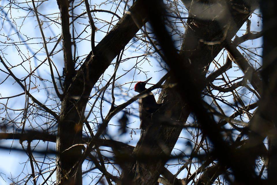 Ciocănitoare neagră (Dryocopus martius). Foto: FB/SPPN/Vasiliy Tovtul