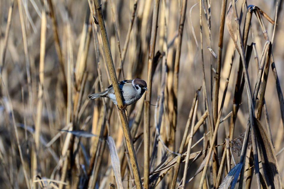 Vrabie de cîmp (Passer montanus). Foto: FB/SPPN/ Vasiliy Tovtul