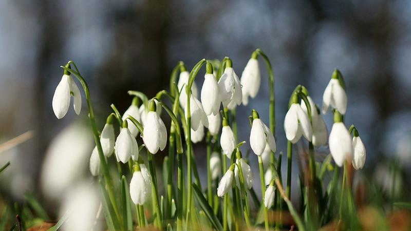 FOTO/ Comercializarea florilor de primăvară incluse în Cartea Roșie, interzisă. Îndemnul Agenției de Mediu