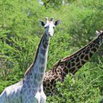 Două girafe albe extrem de rare au fost ucise de braconieri în Kenya