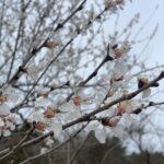 FOTO/ Au înflorit piersicii la Grădina Botanica