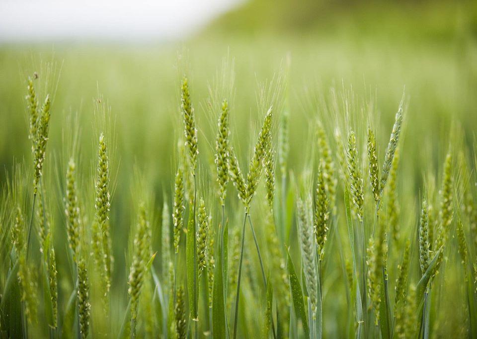 MADRM prognozează în acest an o recoltă de grâu până la 600 mii de tone