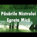 Video/ Păsările Nistrului: Egreta mică