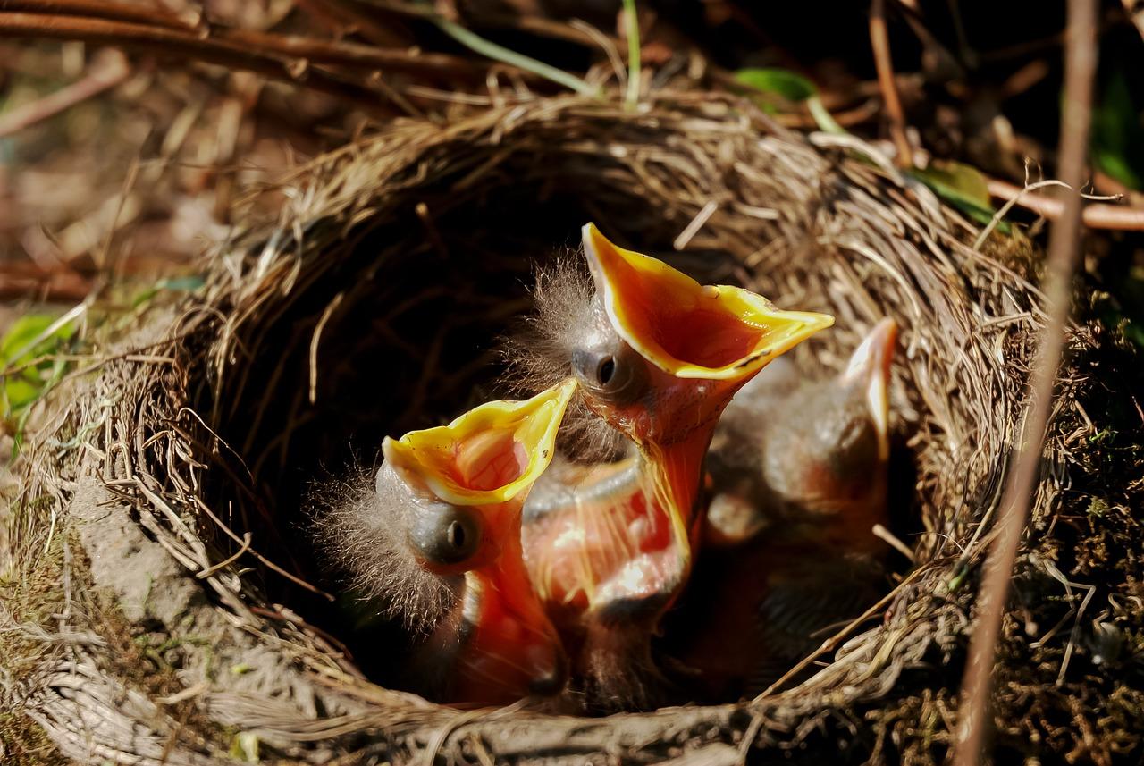 Ce facem când găsim un pui de pasăre căzut din cuib
