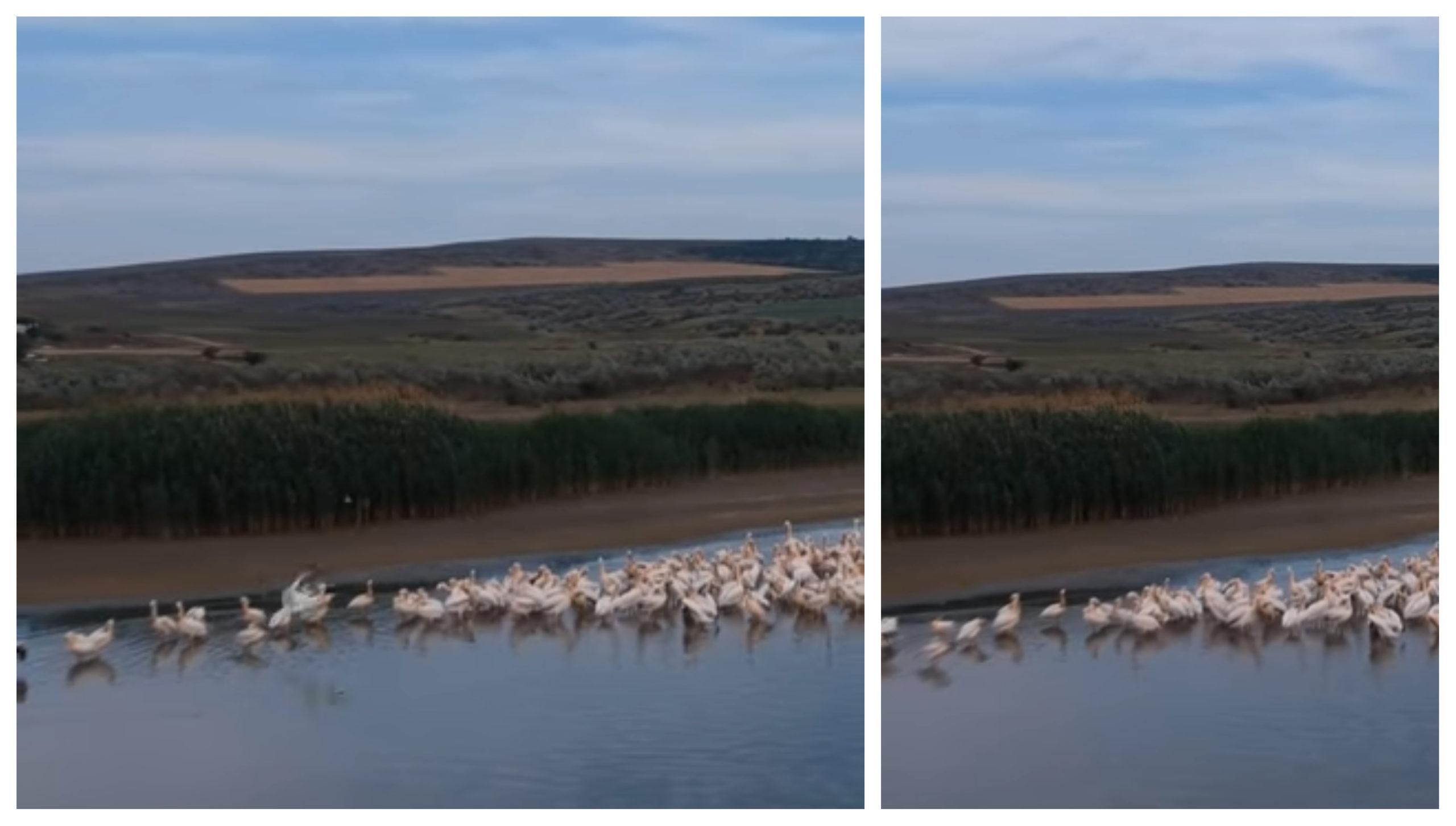 VIDEO/ Sute de pelicani, surprinși pe lacul Congaz