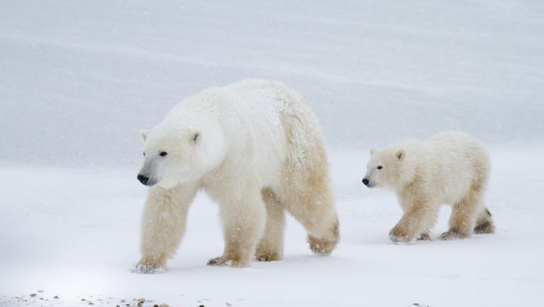 STUDIU/Aproape toți urșii polari ar putea muri în următorii 80 de ani