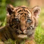 VIDEO/ Un tigru de Sumatra, specie aflată în pericol de dispariţie, s-a născut la o grădină zoologică din Polonia
