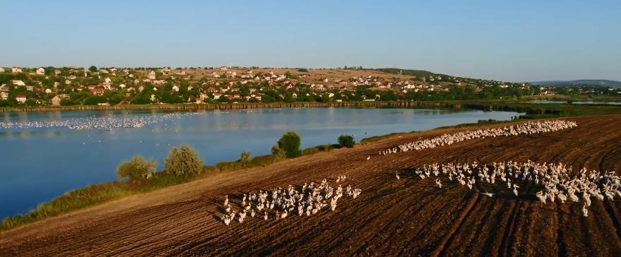 VIDEO/ Sute de pelicani, surprinși pe un lac în apropiere de Chișinău
