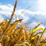 Agricultorii pot solicita compensații pentru diminuarea consecințelor calamităților naturale