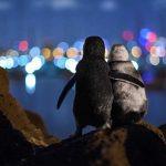 Fotografia a doi pinguini văduvi îmbrăţişându-se, virală pe internet. Poveste din spatele imaginii
