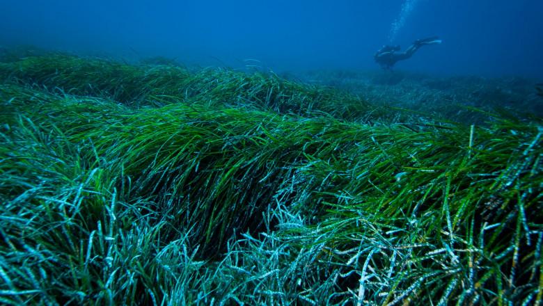 """Iarba de mare s-a adaptat la poluarea umană și a început să """"strângă"""" particulele de plastic care ajung în mări și oceane"""