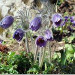 Pază specială pentru plantele rare. Lista conține 165 de specii de importanţă naţională şi internaţională