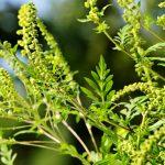 Efect nedorit: ploile dese și căldurile mari sporesc dezvoltarea unei plante alergen