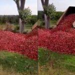 Le aruncă? Precizările ministerului Agriculturii la imaginile cu fermierul, care răstoarnă tone de mere la un capăt de livadă