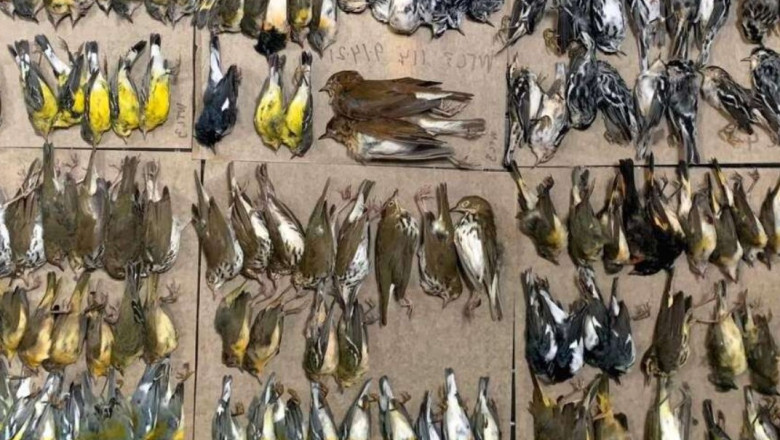 VIDEO/ Sute de păsări migratoare au murit lovindu-se de zgârie-nori