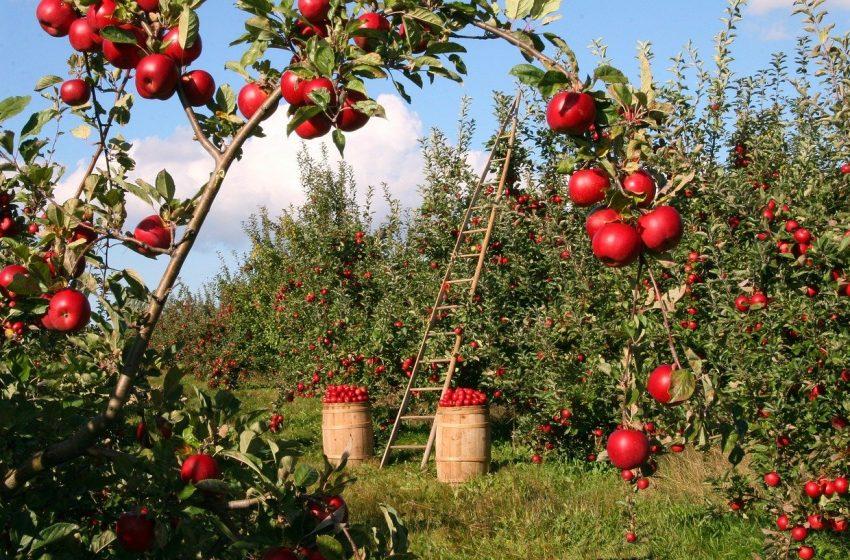 Cele mai multe acordate producătorilor de mere. Credite de peste 12,6 de milioane de euro pentru horticultori